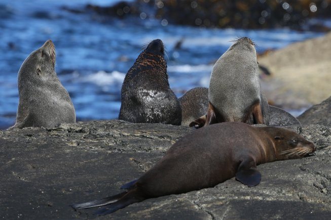 a group of fur seals relaxing on a rock